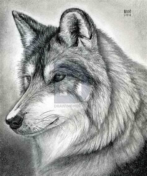 Mexican Wolf Drawing