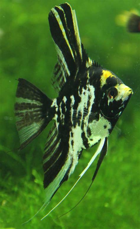 angel fish serene aquarium australia