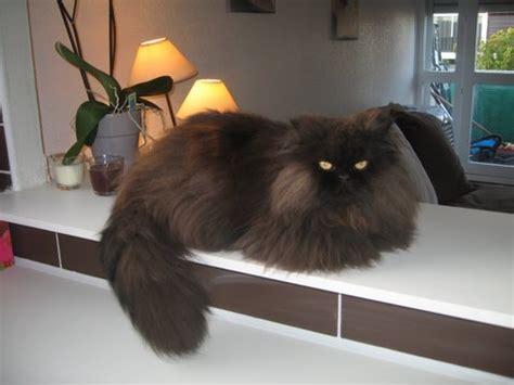 chat persan noir le de mon chat persan