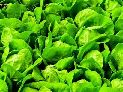 Sayuran Hidroponik Farm Hijau Hydroponic Selada Pertanian