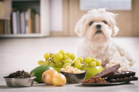 theobromine toxicity dogs symptoms