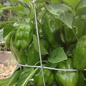 One bell pepper plant | Garden | Pinterest | Bell pepper ...
