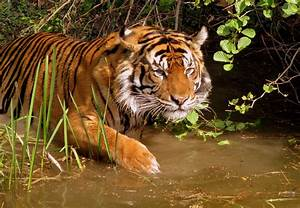 pictures of tigers in the wild - HD Desktop Wallpapers | 4k HD