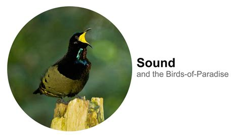 sound and the birds of paradise youtube