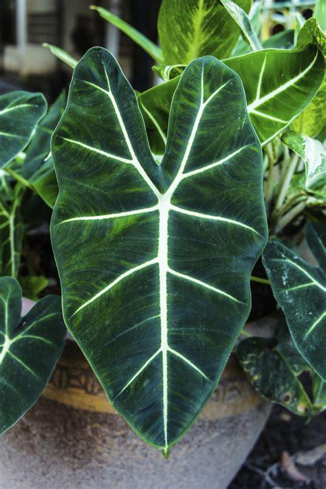 alocasia plant feeding     fertilize