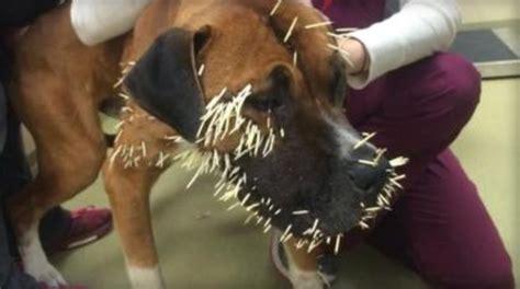 stray dog finds    prickly predicament