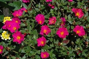 Mojave Fuchsia Portulaca (Portulaca grandiflora 'Mojave