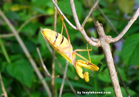 praying mantis colors photography yellow praying mantis lexyleksono