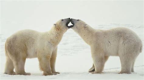 15+ Ice King Polar Bear Hd Wallpaper Pack For Animal