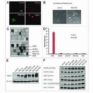 (PDF) TAZ induces growth factor-independent proliferation ...