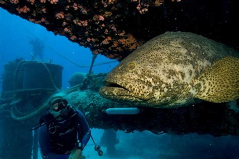 florida lauderdale fort meeting dema wildlife fish goliath grouper regarding legislative alert conservation fwc commission april