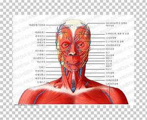 Anatomy Neck Muscles