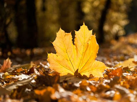 fall leaves wallpapers wallpaper cave