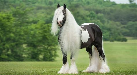 horse breeds most expensive gypsy breed vanner famous worlds india