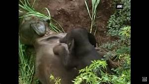 Heart-breaking: Baby elephant keeps trying to nudge mum ...