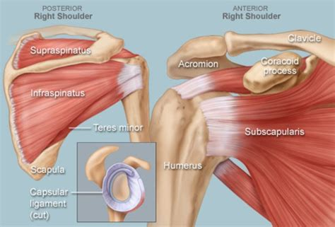 Major, subscapularis, coracobrachialis anterior/middle shoulder muscles, pictures and descriptions of the movements and attachments. Shoulder Human Anatomy: Image, Function, Parts, and More