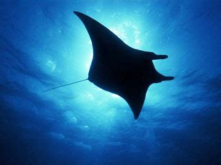 The First Order Wallpaper Diving With Manta Rays Dive The World Creature Features