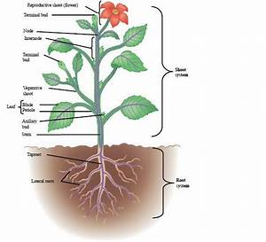 Shoot and Root System