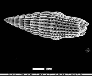 Morphology Of The Radiolaria