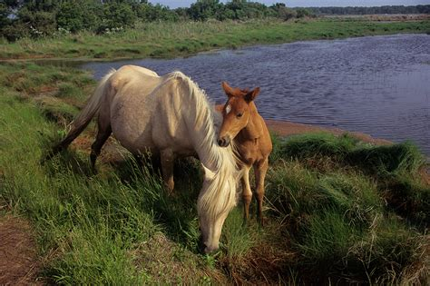 chincoteague ponies pony island assateague wild horses va swim horse islands grown still want cmgdigital