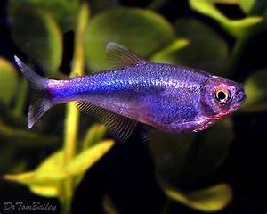Purple Freshwater Fish