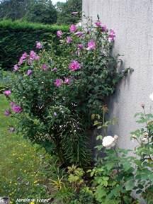 l hibiscus des corolles superbes mais 233 ph 233 m 232 res le
