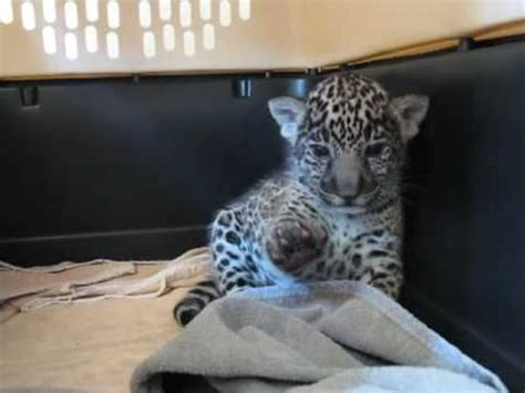 warning extremely cute baby jaguar cub waves  paw