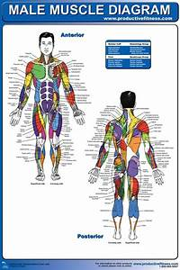 17 Best Images About Muscle Anatomy On Pinterest