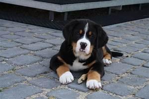 Wie Alt Werden Berner Sennenhunde : welpen ~ Eleganceandgraceweddings.com Haus und Dekorationen