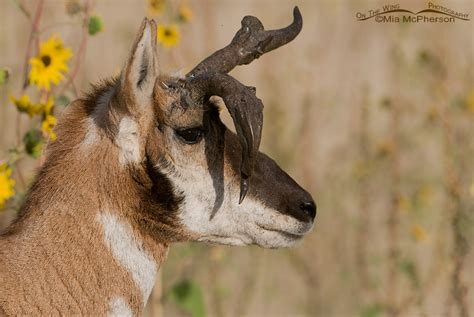 pronghorn sheds a buck pronghorn with oddly misshapened horns