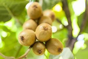 Tailler Les Kiwis : kiwi plantation taille et conseils d 39 entretien ~ Farleysfitness.com Idées de Décoration