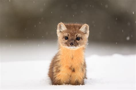 Animals In Snow Wallpaper - wallpaper american marten snow animals hd animals