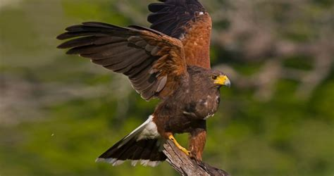 harris s hawk life history all about birds cornell lab