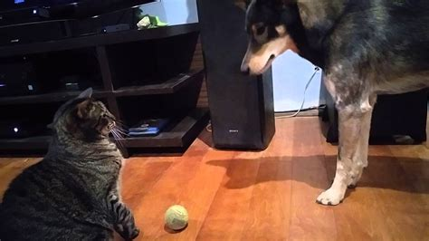 dog cat bullies arya optimus