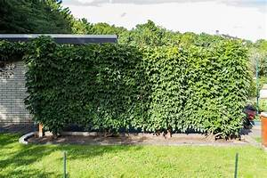 Garten Sichtschutz Pflanzen : sichtschutz ideen f r den garten ~ Watch28wear.com Haus und Dekorationen