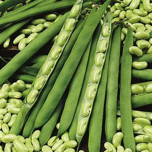 Dwarf Bean  Flageolet  Flambeau Seeds From Mr Fothergill U0026 39 S