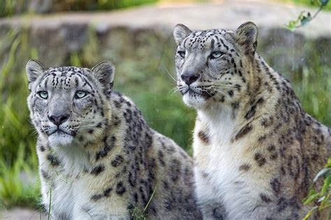 Mongolia Create New Protected Area For Snow Leopards