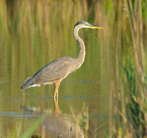 great blue heron range 28 images holy heron