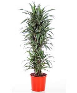 kitchen borders ideas buy house plants now dracaena 39 warneckii 39 bakker