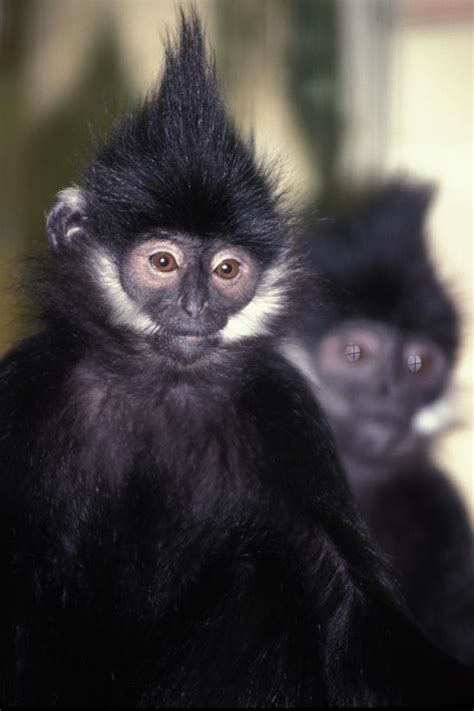 pair  francois langur monkeys experiencing  bad hair