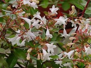 Petit Arbuste Fleuri : ab lia abelia plantation taille entretien ~ Premium-room.com Idées de Décoration
