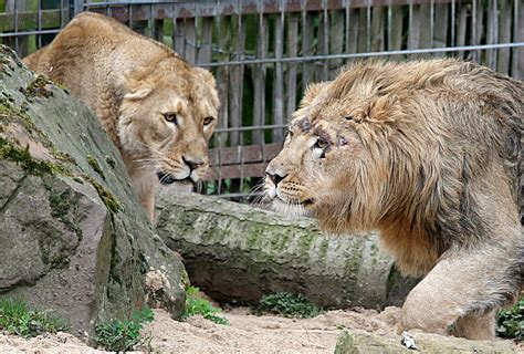 False Alarm After Five Big Cats 'break Out' Of Zoo In West