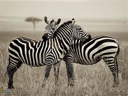 Wallpapers Zebras Zebra