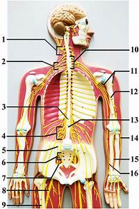 Wiring And Diagram  Diagram Of Upper Body Nerves