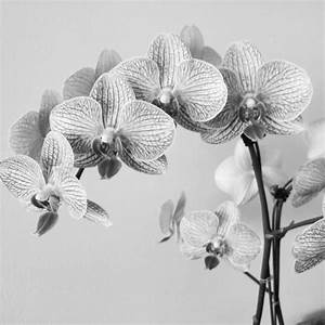 Orchid Black And White Drawing | www.imgkid.com - The ...