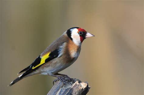 british wildlife photography goldfinch