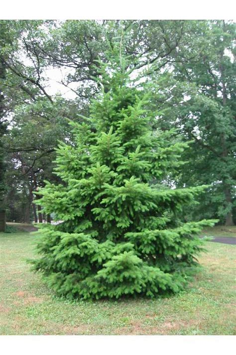 douglas fir trees for sale oregon trees for sale the tree center