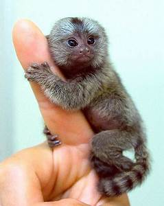 Adorable and charming pygmy Marmoset monkey for your home ...