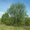Salix caprea - Pussy Willow – Future Forests