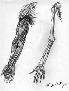 Human Arm Sketch | www.imgkid.com - The Image Kid Has It!